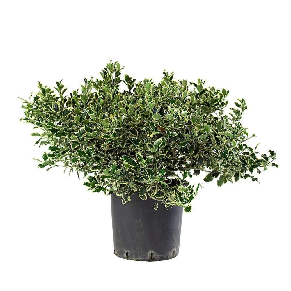 Ilex Aquifolium Variegato