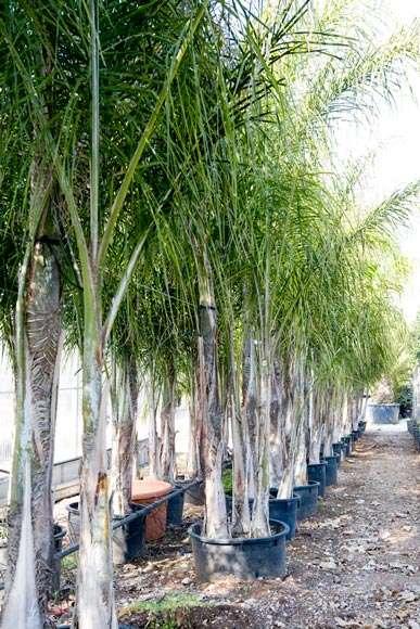 Vendita piante tropicali albero del melo mondo piante for Vendita on line pesci tropicali