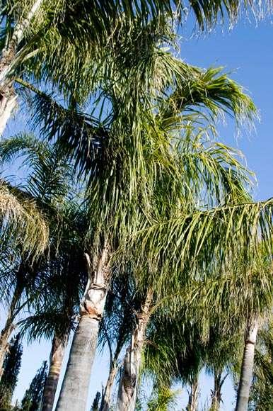 Arecastrum Romanzoffianum (Cocos Plumosa) | vivaicantatore.com