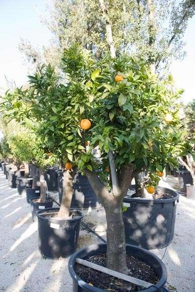 Citrus Sinensis | vivaicantatore.com