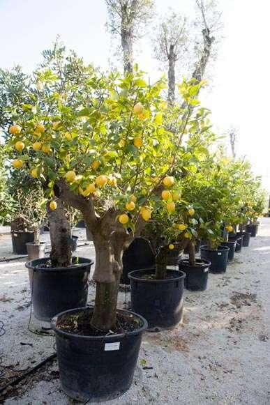 esemplari   citrus limon   vivaicantatore.com