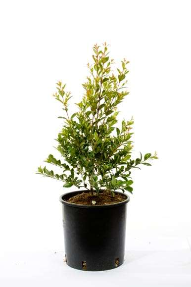 Eugenia Myrtifolia Newport | vivaicantatore.com