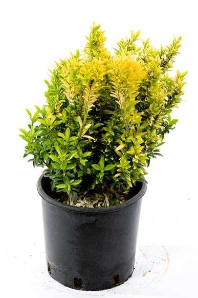 Euonymus Pulchella | vivaicantatore.com