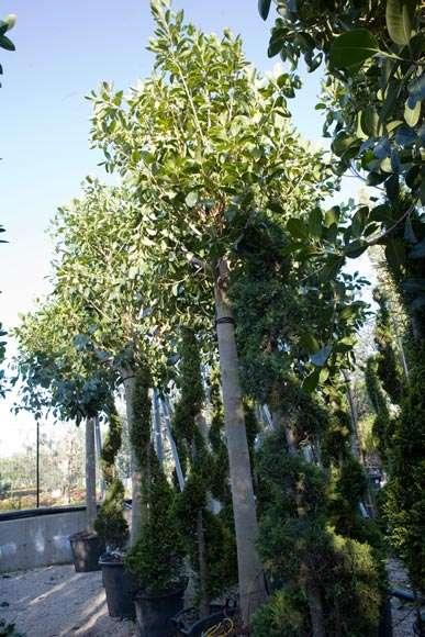 Ficus Australis | vivaicantatore.com