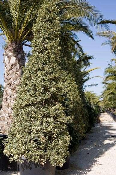 Ilex Aquifolium | vivaicantatore.com
