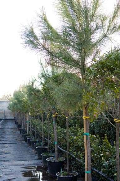 Pinus Pinea | vivaicantatore.com