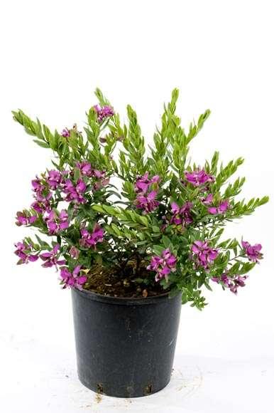 Poligalia Myrtifolia | vivaicantatore.com