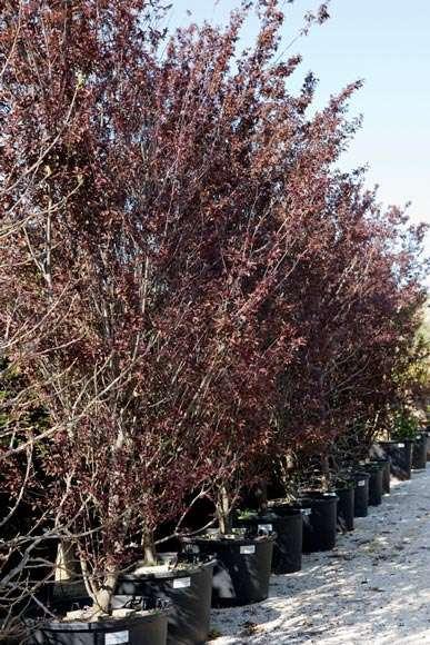 Prunus Pissardi | vivaicantatore.com