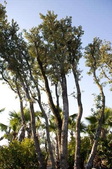 Quercus Ilex | vivaicantatore.com
