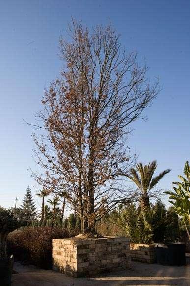 Quercus robur for Muro robur