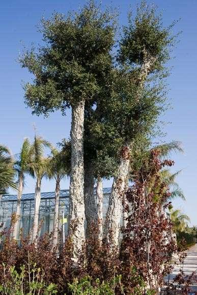 Quercus Suber | vivaicantatore.com