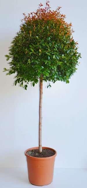 Eugenia Myrtifolia ad albero, forma a palla 04