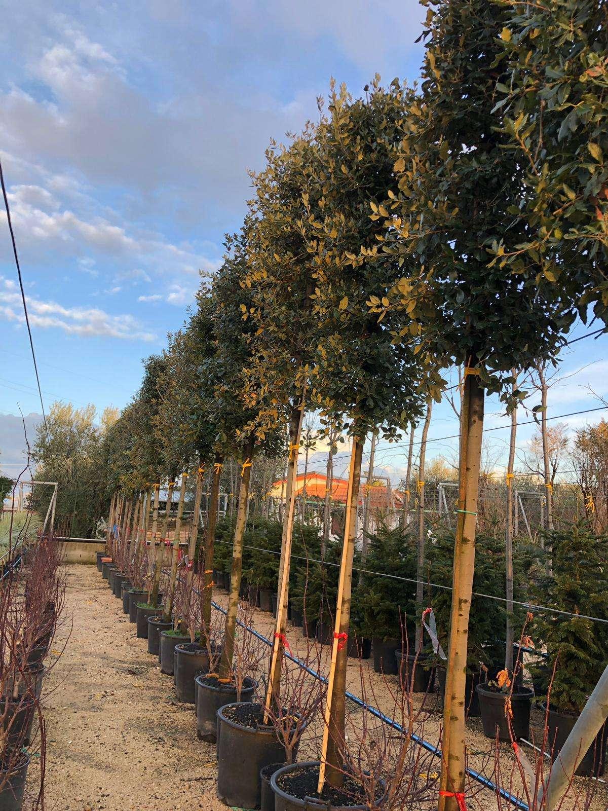Quercus-Ilex-macchia-mediterranea