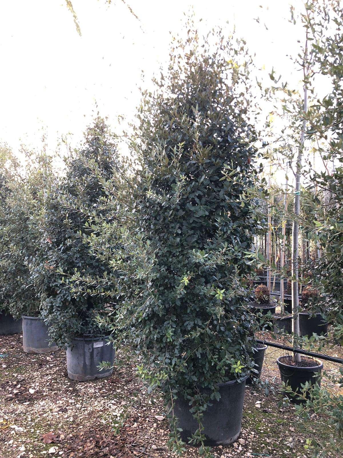 dove-piantare-Quercus-Ilex