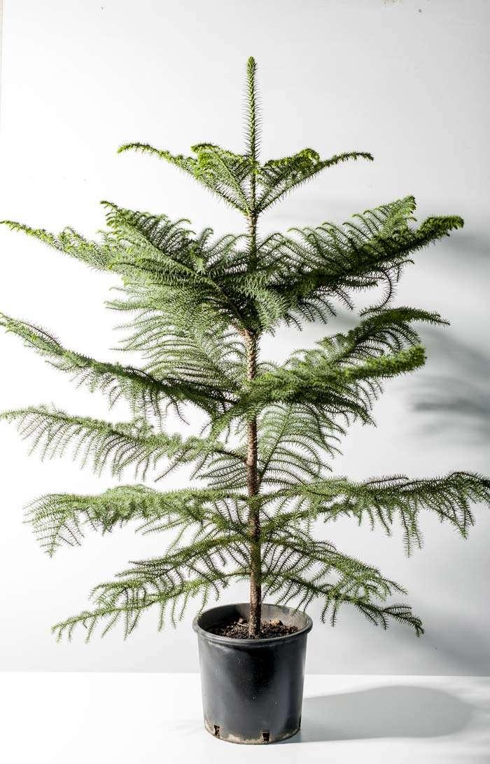 araucaria-heterophylla