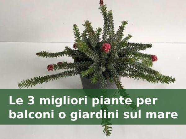 Le 3 migliori piante per balconi o giardini sul mare for Migliori piante da terrazzo