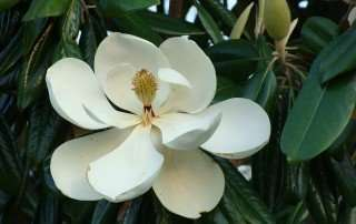 fiore magnolia