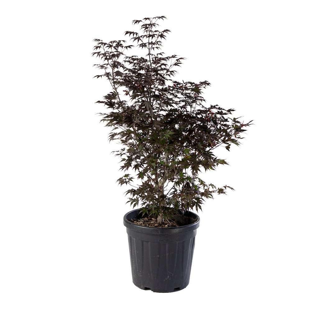 Acero Palmatum Fireglow