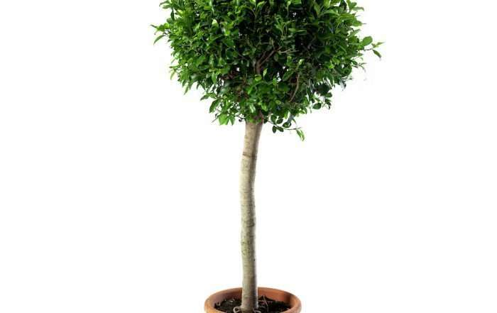 Ficus Nitida Alberetto