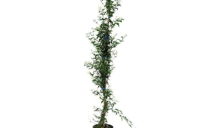 Gelsomino Azoricum (Jasminum)