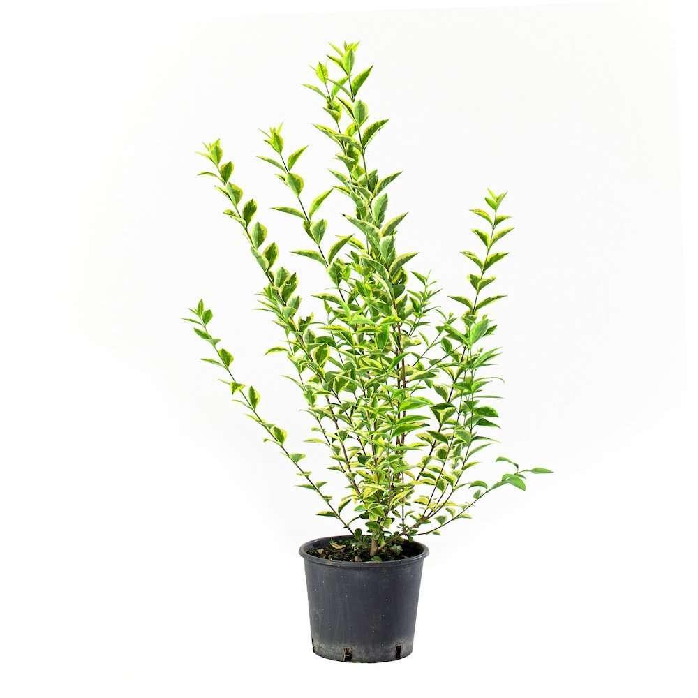 Ligustro Ovalifolia Aurea
