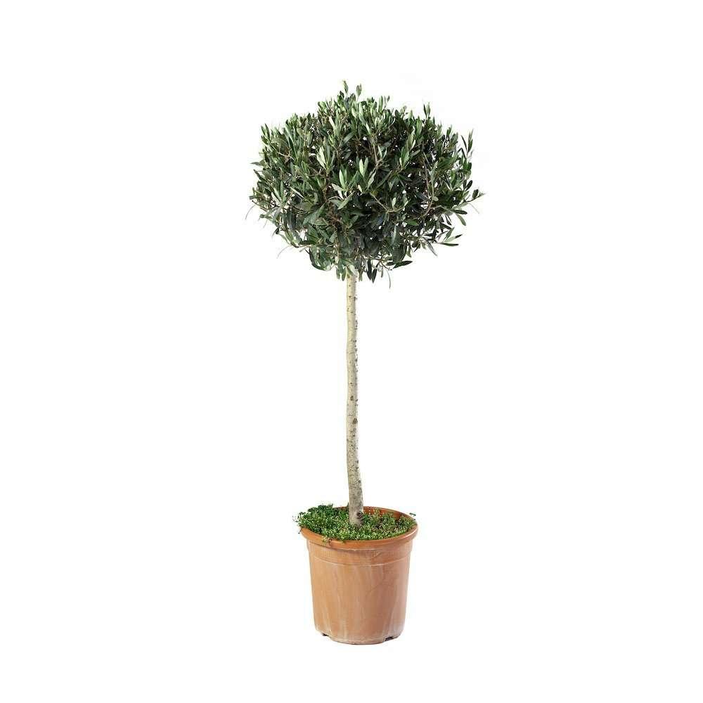 Olea Europaea Alberetto