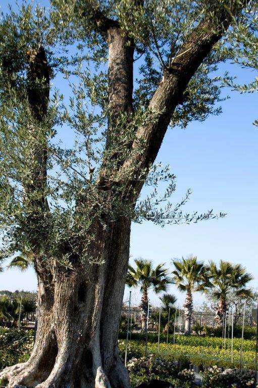 irrigazione dell'ulivo