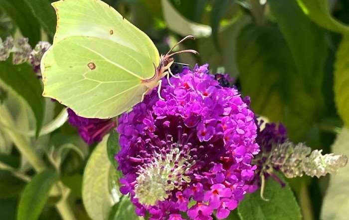 buddleja - albero delle farfalle